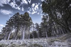 abstrakt natur Pinjeskog på backen arkivfoton
