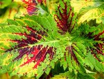 Abstrakt naturbakgrund för flerfärgade sidor - den hybrid- coleusen Blumei - Plectranthus Scutellarioides Royaltyfri Fotografi