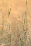 Abstrakt naturbakgrund, gröna stammar i guld- fält Arkivfoton