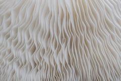 Abstrakt naturbakgrundsmakro av Sajor-caju champinjonväxter Royaltyfria Bilder