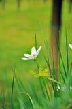 Abstrakt naturblomma (den vita regnliljan) Arkivfoton