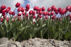 Abstrakt naturfoto av blommande tulpan Royaltyfria Foton