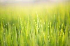 Abstrakt naturlig bakgrund av grönt gräs och solen blossar backgro Royaltyfria Bilder