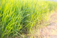 Abstrakt naturlig bakgrund av grönt gräs och solen blossar backgro Royaltyfri Fotografi