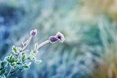 Abstrakt naturlig bakgrund från växten som täckas med rimfrost Arkivfoto
