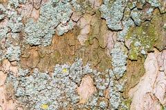 Abstrakt naturlig bakgrund med laven på ett trädskäll Royaltyfria Bilder