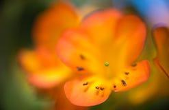 Abstrakt orange bakgrund - detalj av lilly, pistill och stamens Royaltyfri Bild