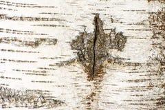 Abstrakt organisk bakgrund av ett björkträdskäll Arkivfoto