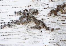 Abstrakt organisk bakgrund av ett björkträdskäll Royaltyfri Foto