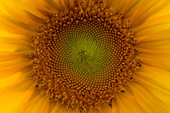 Abstrakt pollen av solrosen Arkivbilder