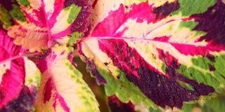 Abstrakt Polychrome sidanaturbakgrund - den hybrid- coleusen Blumei - Plectranthus Scutellarioides Royaltyfri Fotografi