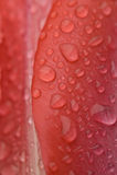 abstrakt röd tulpan Arkivfoto