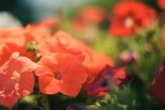 Abstrakt röda blommor för makro med bokeh Royaltyfri Foto