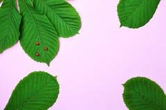 Abstrakt rosa bakgrund med gröna sidor av kastanjen Royaltyfri Foto