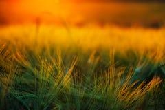 Abstrakt sammansättning av kornfältet i solnedgång Royaltyfri Fotografi