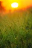 Abstrakt sammansättning av kornfältet i solnedgång Arkivbild