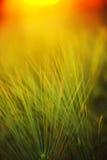 Abstrakt sammansättning av kornfältet i solnedgång Fotografering för Bildbyråer