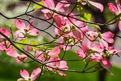 Abstrakt sikt av ett rosa träd för blomma skogskornell royaltyfria foton
