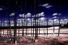 Abstrakt sikt av några torra träd i den Yellowstone nationalparken, USA Arkivfoto