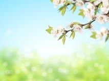 Abstrakt solig suddighetsvårbakgrund med blommor av körsbäret royaltyfria foton