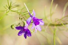 Abstrakt sommar blommar sammansättningsmakrosikt Violett kronbladväxt, grunt djup av fältet, kopieringsutrymme Arkivfoto