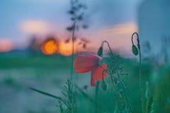 abstrakt spectrum för brandblommapetals En härlig röd blomma på en bakgrund av den brännheta solnedgången Royaltyfria Foton