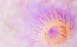 Abstrakt stylowe lotosowe leluje, słodki brzmienie Projekta pojęcie miękkich części menchii tło Zdjęcia Stock