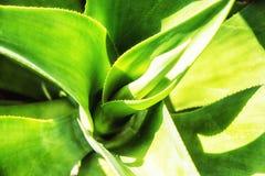 Abstrakt suckulent växt Royaltyfri Fotografi