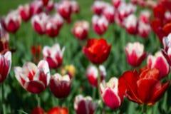 Abstrakt suddig bakgrund av röda blommor och grönt gräs Defocus av färgrika tulpan royaltyfria bilder
