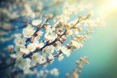Abstrakt suddig bakgrund av vårvit blomstrar trädet Fotografering för Bildbyråer