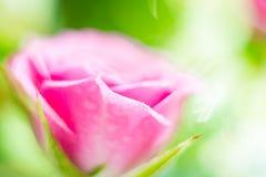 Abstrakt suddig bakgrund - blommande rosa färgros på en bakgrund royaltyfria bilder