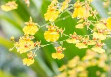 Abstrakt suddighetsbakgrund av den gula Oncidium orkidén arkivfoto