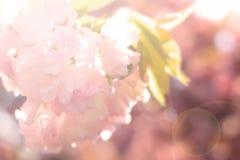 Abstrakt suddighetssakura bakgrund Royaltyfri Foto