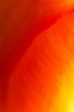 Abstrakt supermacrobild av den trädgårds- tulpan Royaltyfri Bild