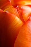 Abstrakt supermacrobild av den trädgårds- tulpan Arkivfoto