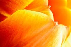 Abstrakt supermacrobild av den trädgårds- tulpan Royaltyfri Fotografi
