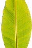 Abstrakt textur av bananbladet på vit bakgrund, sidor Royaltyfri Fotografi