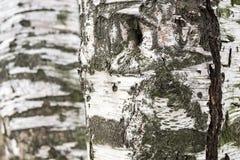 Abstrakt textur av björkskället Royaltyfri Bild