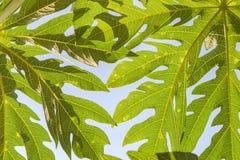 Abstrakt textur av Papayabladet på vit himmel, sidor Royaltyfri Foto