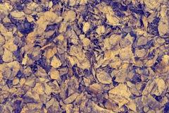 Abstrakt textur av torra stupade sidor av björken Royaltyfri Fotografi