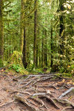 Abstrakt textur av trädet rotar i rainforesten av Lynn Can fotografering för bildbyråer