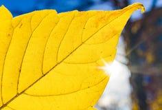 Abstrakt textured tło jaskrawy żółty liść makro- Obrazy Stock