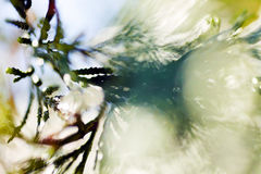 Abstrakt thujaträd Fotografering för Bildbyråer