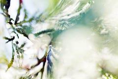 Abstrakt thujaträd Royaltyfri Foto