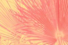 Abstrakt tropisk naturbakgrund Den stora runda palmtr?det l?mnar i rosa gul tonad urblekt effekt f?r tappninglutning Varm pastell arkivfoto