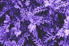 Abstrakt ultraviolett gräsbakgrundsslut upp av den lilla busken, PA Arkivfoto