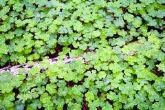 abstrakt växt av släkten Trifolium Royaltyfria Foton