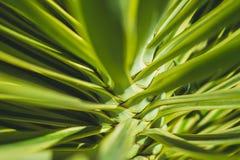 Abstrakt växtbakgrund, palmträdcloseup, palmträdsidor Royaltyfria Bilder