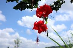 abstrakt vektor för blommahibiskusillustration Royaltyfria Bilder
