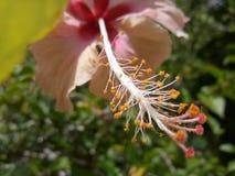 abstrakt vektor för blommahibiskusillustration fotografering för bildbyråer